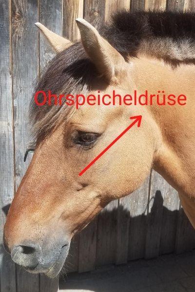 tiertherapiegeraete-mergen_krankheiten_pferd_Ohrspeicheldruese2