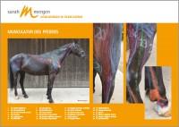 Anatomieposter Pferd DIN A4 quer mit Laminierung