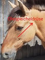 tiertherapiegeraete-mergen_krankheiten_pferd_Ohrspeicheldruese2_smal